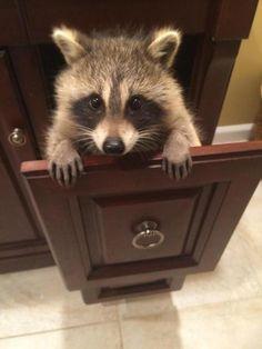 awwww! Cute! Raccoon in a drawer.