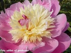 Paeonia lactiflora 'Bowl of Beauty' - Silkepæon