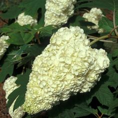 See our large selection of Hydrangeas for your landscape or garden, delivered to your home.