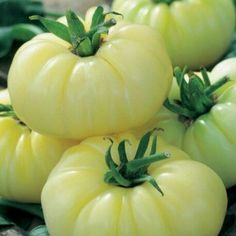 Tomato Seedlings, Tomato Seeds, Tomato Garden, Vegetable Garden, Fruit And Veg, Fruits And Veggies, Wall Climbing Plants, Vegetable Animals, Heirloom Tomatoes