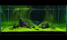 Plant tank with neons and cherry shrimp <3 (19.7.08 by Nickeleen, via Flickr)