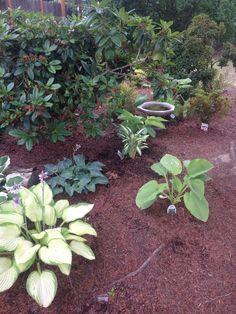 Hosta garden shared by Mary Pinkston.  www.hostasdirect.com #hostas #garden #landscape Hosta Gardens, Garden Pictures, Gardening, Landscape, Outdoor Decor, Plants, Garten, Scenery, Landscape Paintings