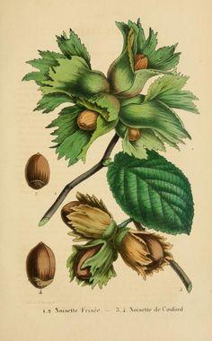 heaveninawildflower:  Noisettes. Plate from 'Belique Horticole' (1853). Volume 3. https://archive.org/stream/belgiquehorticol03lige#page/156...