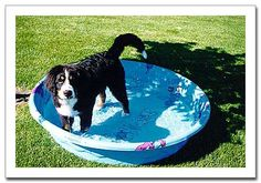 Sturdy dog pool. Needs to be bigger.