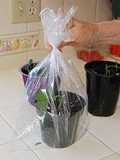 How To Take Softwood Rose Cuttings