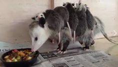"""""""O Grito do Bicho"""": Vídeo lindo de mamãe gambá e seus filhotes"""