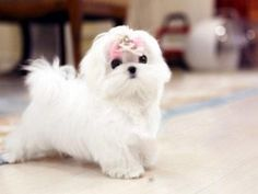 Adorable Maltese Puppy by TeaCups Puppies Boutique. Wish tea cups were not Maltese princess Teacup Maltese, Maltese Dogs, Teacup Puppies, Cute Puppies Aussie Puppies, Tiny Puppies, Puppies And Kitties, Cute Puppies, Poodle Puppies, Teacup Puppy Breeds, Micro Teacup Puppies, Teacup Maltese Puppies, Pomeranian Puppy