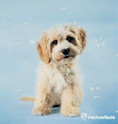Charlie (Cavoodle) - Charlie loves all the playful ideas that seem to pop into his head.  (pic by Rachael Hale)