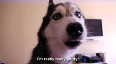 This husky is really really angry and she's not afraid to tell her owner