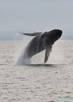 Humpback whale near Vancouver Island,BC