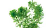 Live Hornwort Plant