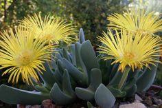 Yellow succulentsg 750422 flowering cactus succlents cheiridopsis mightylinksfo