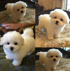 I'm in love with bichon dogs! Bichon Dog, Teddy Bear Puppies, Tiny Puppies, Puppies And Kitties, Cute Puppies, Cute Dogs, Teacup Chihuahua, Doggies, Beagle Dog