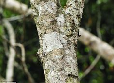That act's getting a bit wooden: This Mossy Leaf-tailed Gecko is a master of disguise in Montagne dAmbre National Park, Madagascar