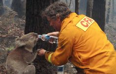 A firefighter gives water to a koala after a major  fire in Australia 2009