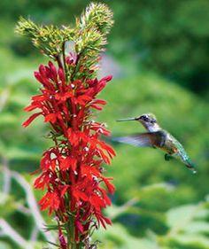 Cardinal flower.  Lobelia cardinalis. Mositure Loving Perennials - Wilson Bros. Nursery.