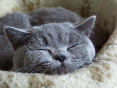 """Cats are rather delicate creatures who are subject to a great many ailments, but I have never heard of one who suffered from insomnia."" --Joseph Wood Krutch"