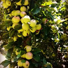 #kashmiri #apple #orchard #baramulla #fresh #juicy #crispy #amazing #kashmir #chennaifoodguide #cfg Kashmir India, Srinagar, Beverages, Good Food, Fresh, Amazing, Photos, Beauty, Pictures