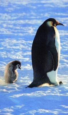 A cute, fuzzy, baby penguin follows in parent's  footsteps.