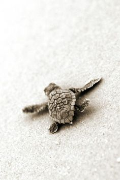 Baby Sea Turtle More animals exoticos salvajes video funny wild sea animals animals cutest animals cutest videos animals wild animals cats baby kittens dogs puppies Beautiful Creatures, Animals Beautiful, Baby Animals, Cute Animals, Wild Animals, Nature Animals, Baby Sea Turtles, Turtle Baby, Loggerhead Turtle