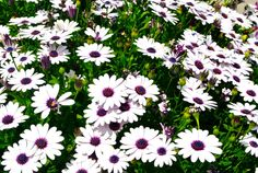 Spring daisies in the Port Streets