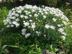 i love daisy Daisy, Gardens, Flowers, Plants, House, Home, Margarita Flower, Outdoor Gardens, Daisies