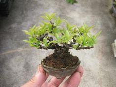 盆栽:苔の成長に負けそう 春嘉の盆栽工房