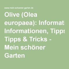 Olive (Olea europaea): Informationen, Tipps & Tricks - Mein schöner Garten