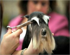 Grooming the Miniature Schnauzers eyebrows properly. It is very difficult to shape the etebrows correctly for show.