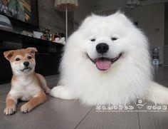 Good morning IG! Have a nice weekend  #cute #dog #doglover #dogsofinstagram #dogoftheday #dogofthedayjp #dogstagram #fluffy #hkig #hongkong #ilovemydog #instadog #instagood #instamood #instagraphy #shibainu #iphonegraphy #pet #petlovers #petscorner #petsofinstagram #petstagram #photooftheday #puppy #pupsofinstagram #samoyed #samoyedsofinstagram #webstagram #犬 #サモエド by alexto
