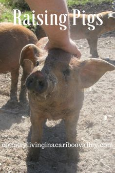 Put a lot of pork in the freezer by raising a couple weaner pigs. Here's what you need to know about raising pigs cheaply on a small scale. Raising Farm Animals, Raising Chickens, Pig Farming, Backyard Farming, Homestead Farm, Future Farms, Mini Farm, Living Off The Land, Farms Living