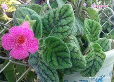 Flor de la Episcia o campanita rosada