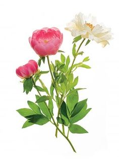 Peonies deliver showstopping blooms with surprisingly little effort.