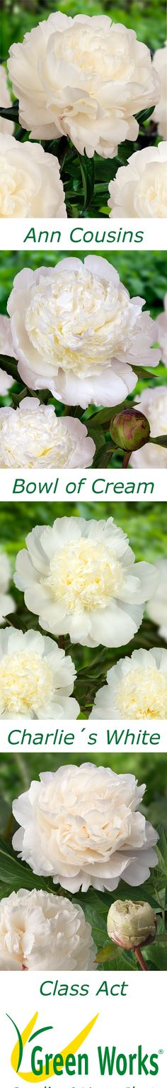 Which one is your favorite white Peony?! http://www.green-works.nl/en/peonies/ #peony #peonies