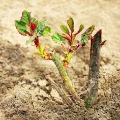Правила выращивания роз