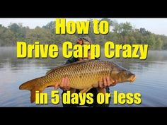 How to drive carp crazy in 5 days or less: chum effectively for catching carp Carp Fishing Videos, Carp Fishing Rigs, Fishing Tips, Fly Fishing, Carp Rigs, Common Carp, Bowfishing, Fishing Humor, Big Fish