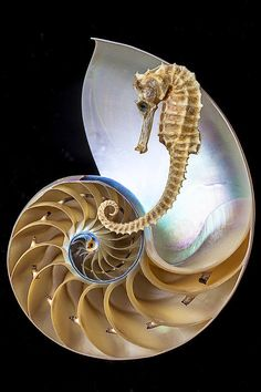 Nautilus With Seahorse - by Garry Gay [fineartamerica]
