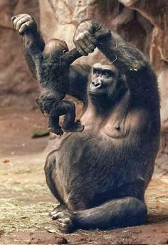 Primates - gorilla mom and baby Primates, Mammals, Nature Animals, Animals And Pets, Wild Animals, Beautiful Creatures, Animals Beautiful, Beautiful Images, Cute Baby Animals