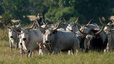 Maremma cattle and Butteri in the Parco Regionale della Maremma by Steve Walesch, via Flickr