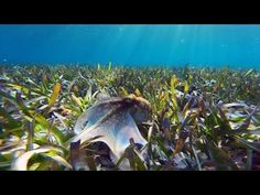 Snorkeling in relatively shallow water, I spotted this octopus gliding quickly over some seagrass. As soon as I turned its way, it immediately took cover in . Octopus Illustration, Dog Boarding, Kraken, Westies, Shallow, Snorkeling, Make Me Smile, Animal Pictures, Aquarium