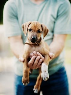Cute Puppies, Dogs And Puppies, Cute Dogs, Doggies, Baby Animals, Funny Animals, Cute Animals, Happy Birthday Puppy, Rhodesian Ridgeback Puppies