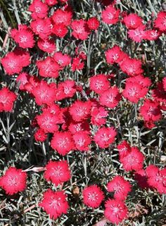 Wicked Witch Hardy Pink for sale buy Dianthus 'Wicked Witch' PP 19,824
