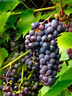 Vitis 'Beta', vinranka. Blåa små druvor. Mycket härdig. Kan odlas utomhus på varm plats.