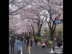 Musim semi dijepang dan bunga sakura - YouTube