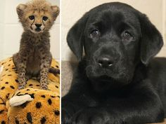 Dallas Zoo will raise cheetah cubs with special friend — a Labrador puppy