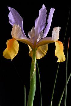 Iris flower, by vishu shillong Iris Flowers, Types Of Flowers, Flowers Nature, Planting Flowers, Bulbous Plants, Purple Hibiscus, Iris Garden, Garden Photos, Belleza Natural