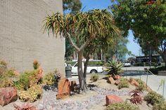 Gardens By Jenise: A Brilliant 'Work in Progress....Orange Coast Community College's New Cactus & Succulent Garden