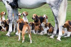english-foxhound.jpg 425×282 pixels