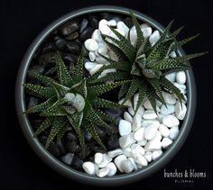 Yin and Yang Planter with 2 Howarthia in gray ceramic bowl. Succulent Bowls, Succulent Gardening, Succulent Arrangements, Succulent Terrarium, Cacti And Succulents, Planting Succulents, Planting Flowers, Terrarium Plants, Container Gardening