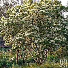 Native to jap North America, hawthorn is a showy, small tree that breaks into clouds o Flowering Trees, Hawthorn Tree, Trees To Plant, Gardening Trends, Shrubs, Landscape, Landscaping Tips, Plants, Tree Identification